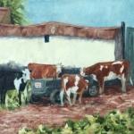 Inquisitive cows - Viscri